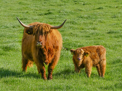 SF20 (tubblesnap) Tags: highland cattle cow cows coos calf calves hellifield beef cute farm birthday treat lightroom panasonic lumix furry cuddly yorkshire dales ginger