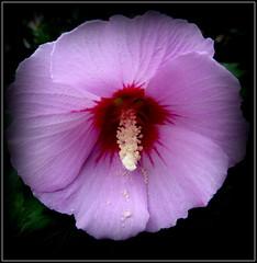 Natural Wonder (dimaruss34) Tags: newyork brooklyn dmitriyfomenko image flower hibiscus