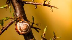 davidmoore April 29, 2014 (sirdavemoore) Tags: blackthorn derrieswood flowersplantsleavesberries nature places snail