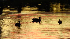 Sunset on the Pond (Jim Mullhaupt) Tags: ducks silhouette bird water pond lake swamp wildlife nature landscape background wallpaper outdoor bradenton florida manateecounty nikon coolpix p900 jimmullhaupt sunset sundown dusk sun evening endofday color red gold orange pink yellow weather tropical exotic reflection cloudsstormssunsetssunrises photo flickr geographic picture pictures camera snapshot photography nikoncoolpixp900 nikonp900 coolpixp900