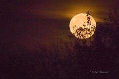 Hunters Moon Rising (Steve Simmer) Tags: sandhillcranes sherburnenationalwildliferefuge