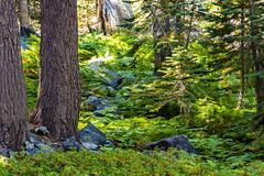 BareIslandLakeTrees2Sept2-18 (divindk) Tags: bareislandlake california commonname maderacounty sierranationalforest backpacking camping fern forest lake quiet reflection serene sunlight