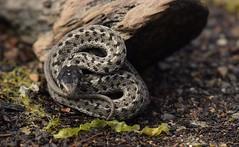Beach creature (Snixy_85) Tags: snake beach iona
