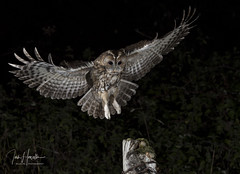 Tawny Owl (Ian howells wildlife photography) Tags: ianhowells ianhowellswildlifephotography inflight nature naturephotography nationalgeographic night canon canonuk flash flight wildlife wildlifephotography wales wild wildbird tawnyowl tawny owl o
