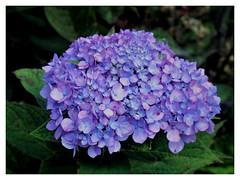 Hydrangea sliding (karma (Karen)) Tags: baltimore maryland home frontyard bushes hydrangea blossoms hss cmwd topf25
