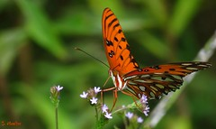 Gulf Fritillary Butterfly (Suzanham) Tags: butterfly nature bug insect mississippi heliconiinae agraulis nymphalidae gulffritillary wings macro passionbutterfly noxubeewildliferefuge