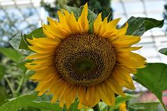 Sunflower (chooyutshing) Tags: flower sunflower sunflowersurprise floraldisplay flowerdome gardenbythebay baysouth marinabay singapore