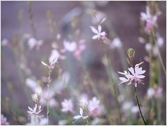 (melolou) Tags: flowers little bokeh minimal