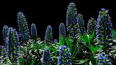 Echium acanthocarpum (Jörg Bergmann) Tags: echiumacanthocarpum elcedro flora gomeraendemit islascanarias lumixgvario1232f3556 lagomera panasonic1232mmf3556 panasonicdmcgm1 parquenacionaldegarajonay stachelfrüchtigernatternkopf tajinasteazuldelagomera tajinastegomero canarias canaryislands closeup endemic españa flower gm1 gomera lumix m43 mft micro43 microfourthirds nature spain wildflowers μ43 blue spring 2018 march primavera frühling