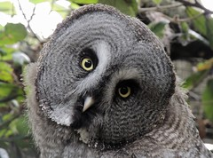 Last Time I ask for Directions (Kevin Pendragon) Tags: grey owl feathers paradisepark hayle cornwall autumn brown yellow diskface beak bird nature naturephotography green leaves wise great night dusk dawn