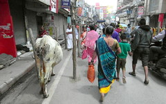 varanasi sacred cow (kexi) Tags: varanasi india asia morning people many marching cow animal walking crowd street samsung wb690 february 2017 benares uttarpradesh instantfave sacred