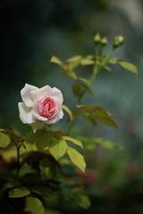 la rose pour Guillaume (claudia 222) Tags: rose paris summicron 90mm
