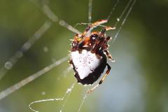 IMG_6690 (James Gemperline) Tags: triangulateorbweaver verrucosaarenata arachnid arrowheadspider orbweaver web macro spider