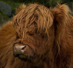 A hair cut is needed (LindaShaws Images) Tags: cow highland brown lakedistrict buttermere field outdoors fluffy ears curly