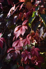 DSC_1881 (PeaTJay) Tags: nikond750 reading lowerearley berkshire gardens outdoors nature flora fauna plants flowers trees shrubs bushes foliage