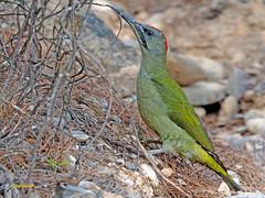 Pito real (Picus viridis)  (10) (eb3alfmiguel) Tags: aves pájaros carpinteros pito real picus viridis