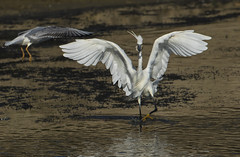 Egret/Fish and the determined scavenger! (Ann and Chris) Tags: littleegret feeding fish bird wildlife water wings avian nature rutland canon7dmarkii