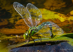 Egg laying? (JKmedia) Tags: southern hawker dragonfly nature wildlife devon chudleigh pond autumn october 2018 boultonphotography sonyrx10iii wings translucent split leaf laying sunlit blue green yellow brown