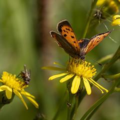 Lycaena phlaeas (Ouwesok) Tags: canoneos80d sigmaapo35180mmaf lycaenaphlaeas kleinevuurvlinder vlinder insect woldlakebos