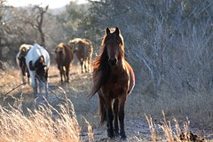 Herd Encounter by Stacey Steinberg (Maryland DNR) Tags: 2018 photocontest mammal wildlife winter horses ponies assateague