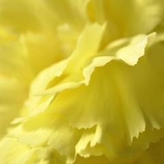 Mellow Yellow (magaroonie) Tags: 7dos single colour macro monday