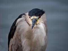 Black Crowned Night Heron (Bridgeport Mike) Tags: pa130070 black crowned night heron bird nature water