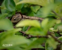 I found this tiny lizard in a bush it was about 3cm long #lizard #reptile #lizardsofinstagram #reptilesofinstagram #lizards #gecko #beardeddragon #reptiles #travelling #beardeddragonsofinstagram #geckosofinstagram #crestedgecko #traveler #leopardgecko #to (justin.photo.coe) Tags: ifttt instagram i found this tiny lizard bush it was about 3cm long reptile lizardsofinstagram reptilesofinstagram lizards gecko beardeddragon reptiles travelling beardeddragonsofinstagram geckosofinstagram crestedgecko traveler leopardgecko tourism reptilesofig lizardlove travelingram beardies beardie pogonavitticeps beardeddragons igtravel europe traveller justinphotocoe