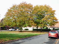 autumn colour (47604) Tags: autumn colour tree grass sycamore