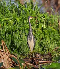 10-18-18-0038611 (Lake Worth) Tags: animal animals bird birds birdwatcher everglades southflorida feathers florida nature outdoor outdoors waterbirds wetlands wildlife wings