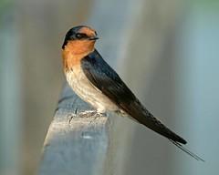 Welcome swallow (Maureen Pierre) Tags: perth westernaustralia canningriver estuary welcomeswallow passerine bird perch xt2 fujifilm