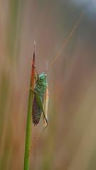 The One-Legged Grasshopper (Visual Stripes) Tags: grasshopper insect invertebrate panasoniclumixg1 sigma105mm macro microfourthirds mft m43 bokeh