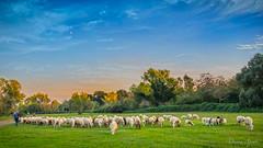 il gregge al tramonto (adrianaaprati) Tags: flock sheep shepherd sunset countryside sky october autumn meadow