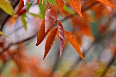 This Colourful Magical Season ... (MargoLuc) Tags: autumn colours tree leaves fall red golden yellow bokeh sunlight day walk branch backlight