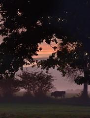 Rinder zählen auf der Hauskoppel; Bergenhusen, Stapelholm (25) (Chironius) Tags: stapelholm bergenhusen schleswigholstein deutschland germany allemagne alemania germania германия niemcy morgendämmerung sonnenaufgang morgengrauen утро morgen morning dawn sunrise matin aube mattina alba ochtend dageraad zonsopgang рассвет восходсолнца amanecer morgens dämmerung gegenlicht tier rind himmel sky ciel cielo hemel небо gökyüzü silhouette nebel fog brouillard niebla baumsilhouette baum bäume tree trees arbre дерево árbol arbres деревья árboles albero árvore ağaç boom träd