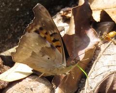 Doxocopa cyane (Birdernaturalist) Tags: apaturinae bolivia butterfly lepidoptera nymphalidae richhoyer