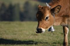 le gamin (Patabois) Tags: vache animalier ferme hautesvosges montagne