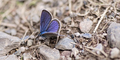 Azuré (Amanda Hinault - 風流韻事) Tags: ccbysa photobyamandahinault creativecommons pentax pentaxk1ii pentaxart macro proxi details insecte bugs papillon butterfly