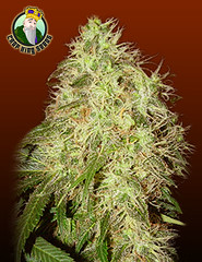 Rogue-Thunder (Watcher1999) Tags: rogue thunder marijuana seeds appetite pain cannabis reliever help with chronic relief medical growing plant strain weed weeds smoking ganja legalize it
