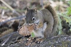 Lunch time (rjonsen) Tags: gran teton national park squirrel animal wildlife eating pinecone pine cone