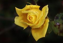 Sunday Rose (Hugo von Schreck) Tags: hugovonschreck rose makro macro blume blüte flower canoneos5dsr tamron28300mmf3563divcpzda010 onlythebestofnature