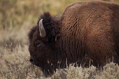Gros bison (Samuel Raison) Tags: bison bisons buffalo buffalos yellowstone yellowstonenationalpark yellowstonewildlife wildlife nature nikon nikond3 nikon4600mmafsgvr