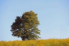 Single Tree (A_Renee_88) Tags: tree field yellow green nature hiking alone single beautiful worlds end hingham massachusetts