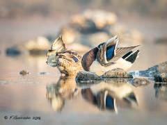 Hide&Seek (Fernando Guirado) Tags: 2018 aves tumbinghide birds wildlife hide seek em1mk2 em1ii olympus 300mmf4pro mc14x