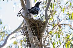 Crow's Nest (petefeats) Tags: australia birds corvidae corvusorru nature passeriformes queensland torresiancrow nest nesting tinchitambawetlands