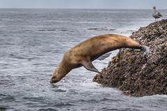 Steller's Sea Lion - Female (Turk Images) Tags: britishcolumbia earedseals eumetopiasjubatus princerupert stellerssealion westcoast mammals otariidae colony island marine