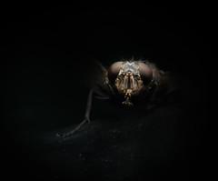Fly (zserg2000) Tags: fly portrait macro macrophoto