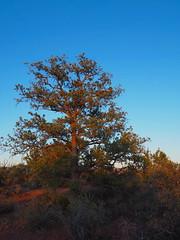 P6309811 (carriemoranphotos) Tags: arizona sedona redrocks trees travel sunrise sunset red usa roadtrip