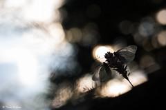 """ Aube en Duo "" (Thomas Delahaye) Tags: macro canon 100mm 5dmark3 thomas delahaye papillons gazés butterfly bokeh ngc wildlife insect alps french mountain color pure sunrising soleil sun duo aube"