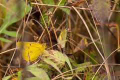 7K8A7595 (rpealit) Tags: scenery wildlife nature weldon brook management area orange sulphur butterfly