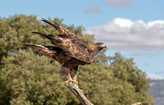 Golden Eagle (Chas Moonie-Wild Photography) Tags: golden eagle wild aquila chrysaetos raptor bird